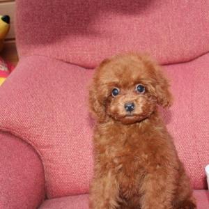 【トイプードル女の子 7頭】子犬情報です:専門犬舎直営ハウス