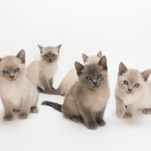 Minkwin cattery litter twenty. Tonkinese cat販売終了のお知らせ