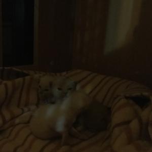 Tonkinese kittens.