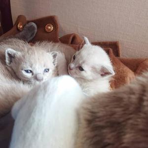 トンキニーズ フローラの仔猫たち