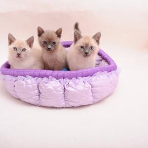 3月30日生まれトンキニーズ仔猫たち