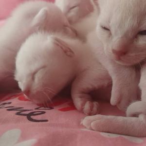 ひだまりのトンキニーズ子猫たち