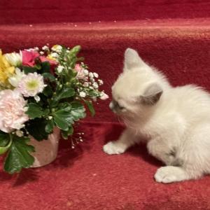 生後47日 トンキニーズ子猫