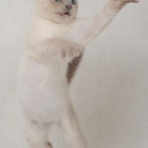トンキニーズ子猫
