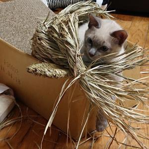 トンキニーズ子猫とキラキラボール
