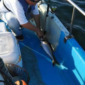 タチウオに続いて丸アジ、更にアイゴとなると沖アミのふかせ釣りも