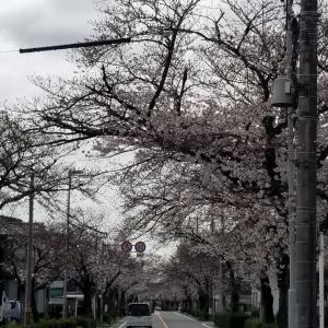 ドライブお花見