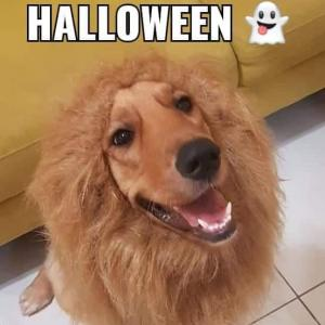 Happy Halloween!今年はライオンにしました。