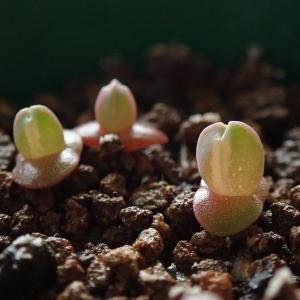 2020年播種のメセンの様子(Conophytum, Cheiridopsis, Monilaria)