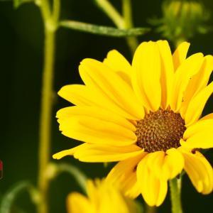 柳葉向日葵