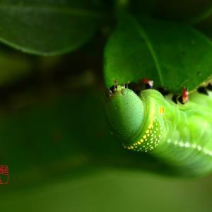 梔子の葉を食べる芋虫
