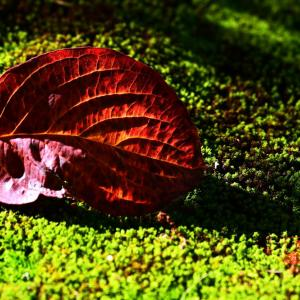 ハナミズキ落葉