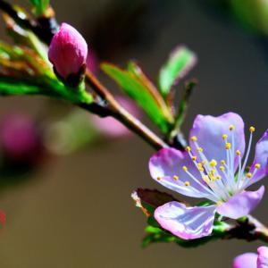 薄桃色の花咲く