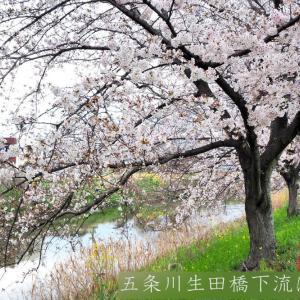 五条川カメラ散歩 ~桜