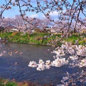 五条川カメラ散歩 ~桜再び