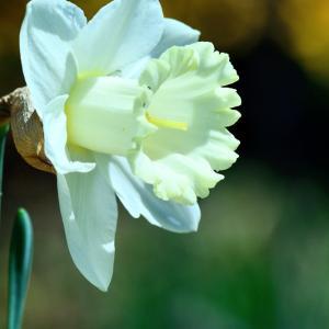 白いラッパ水仙