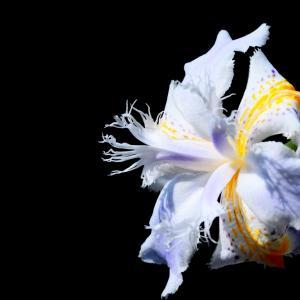 ヒメシャガ咲く
