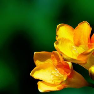フリージア咲く