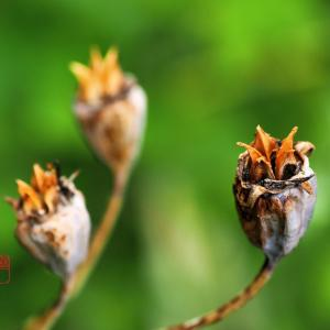 桔梗の種子