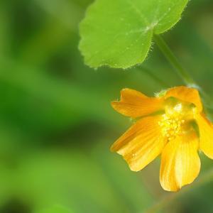 イチビ咲く