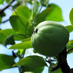 花梨の種子