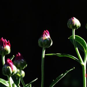 菊が開き始めた