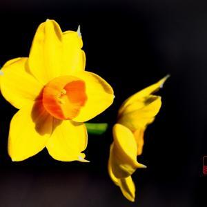 黄色い水仙咲く