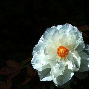 白牡丹咲く