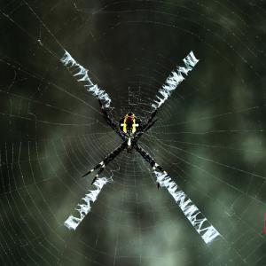 コガネ蜘蛛