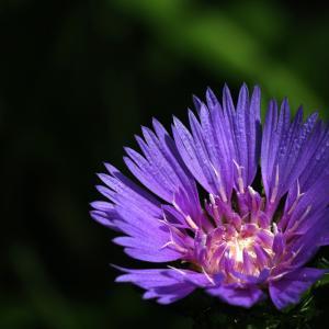 スケトシア咲く