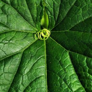 胡瓜の葉と蔓