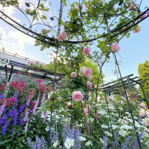 ピエール ド ロンサール咲く庭風景
