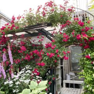 キングローズ咲く庭景色