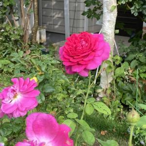 酷暑の中のバラ ダークレディー、チャイナローズ