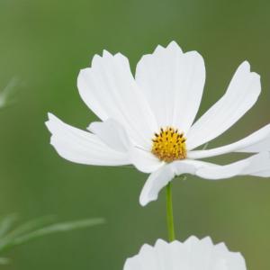咲き揃ったコスモス