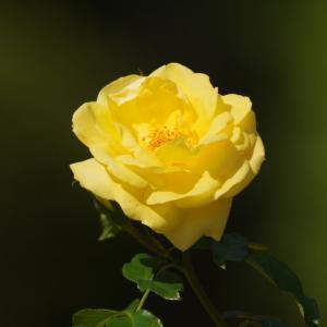 黄色いバラ・エミールノルデ