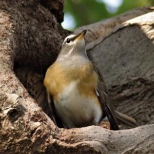 樹上のマミチャジナイ