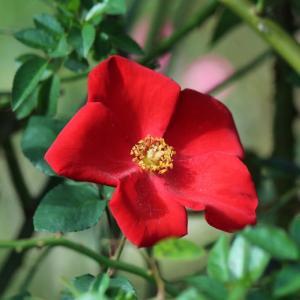 真っ赤なバラ・アルテッシモ