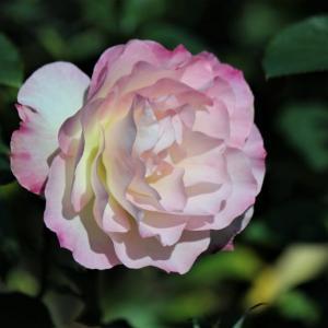 初冬のバラ・マチルダ