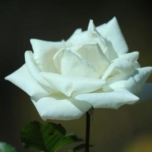 初冬の白薔薇・銀世界