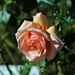 初冬のバラ・フレグラント アプリコット