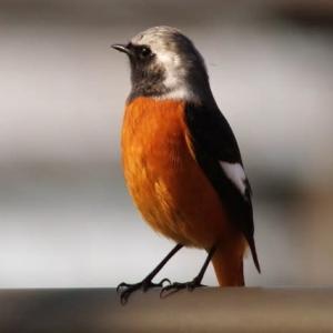 橙色のジョウビタキ