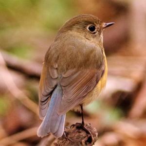 森のルリビタキ(♀)