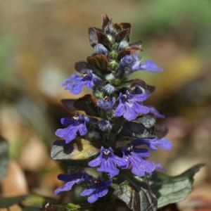 紫のアジュガ(西洋十二単衣)