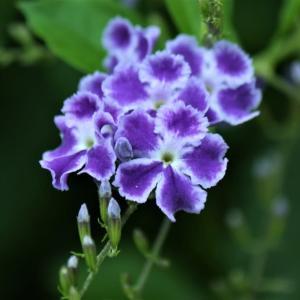 紫紺のデュランタタカラヅカ