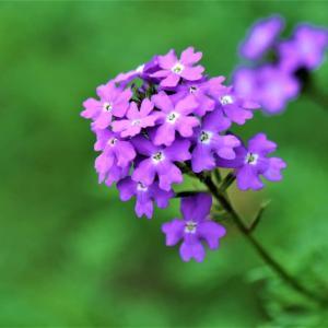 赤紫のバーベナ