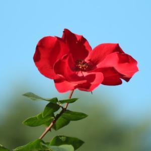 冬に咲く赤い薔薇・アルテッシモ