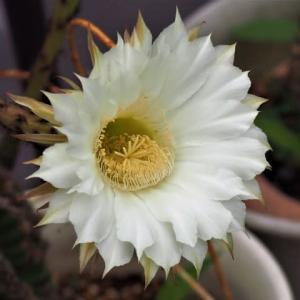 サボテン・短毛丸の白い花