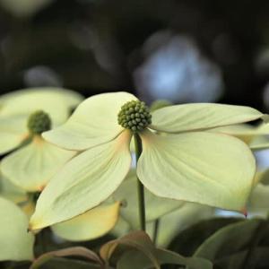 ヒマラヤヤマボウシ