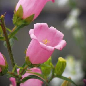 ピンクの釣鐘草